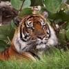 honolulu zoo-tiger