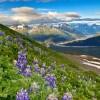 Lupins in Kenai Fjords National Park in Alaska