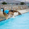 Doggy Swim Day in El Paso, Texas