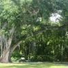 Foster Botanical Garden-tree 1