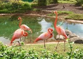 honolulu zoo-flamingo